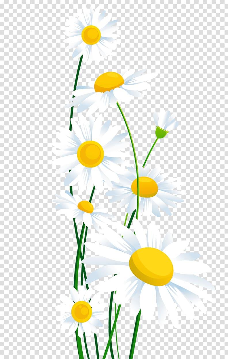 White daisies illustration, Common daisy , White Daisies.
