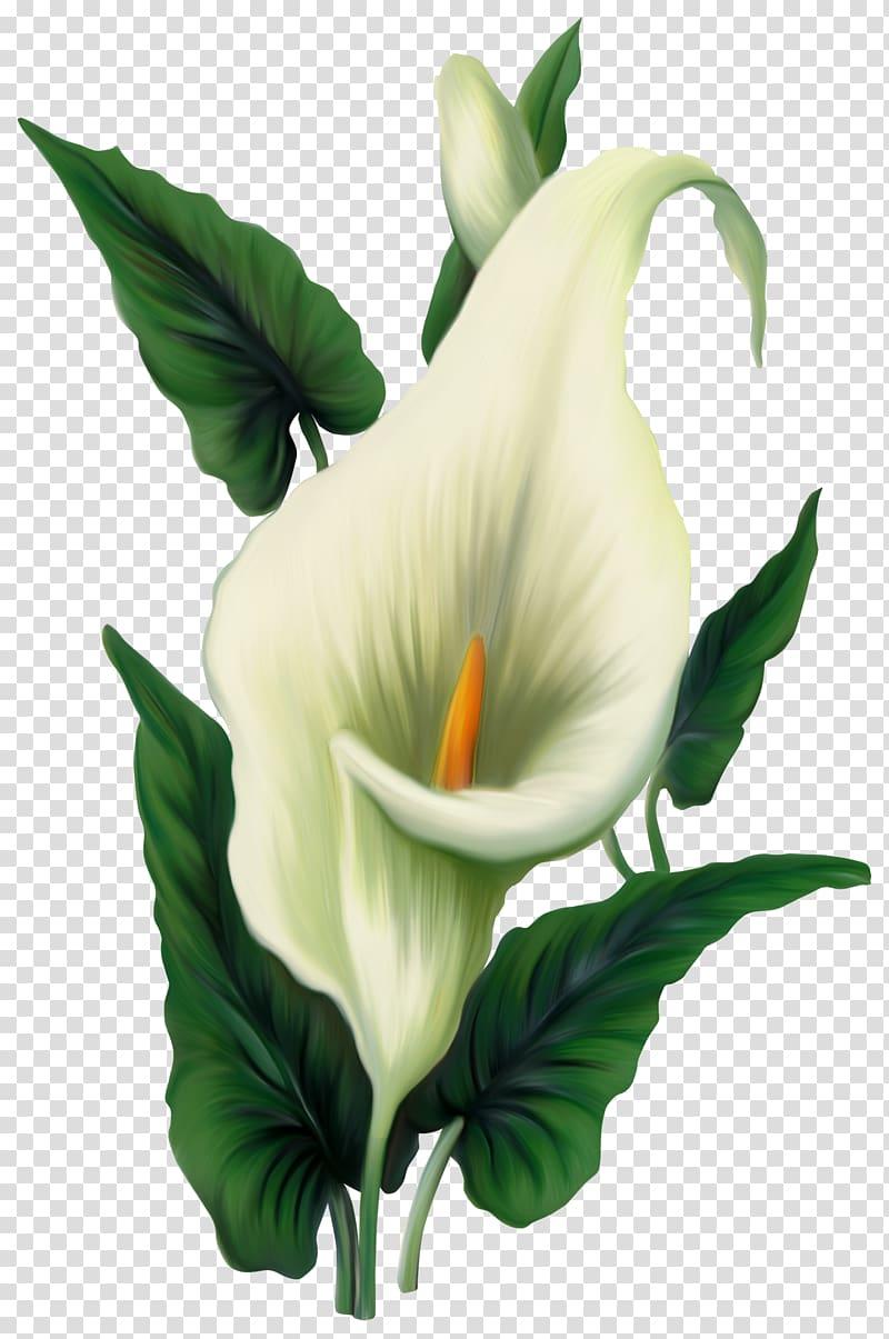 Icon Computer file, Calla Lily , yellow and green calla.
