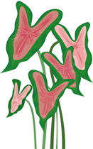 Search Results for caladium.