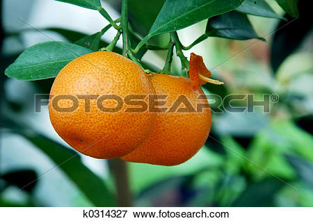 Picture of Calamondin Citrus Oranges k0314327.