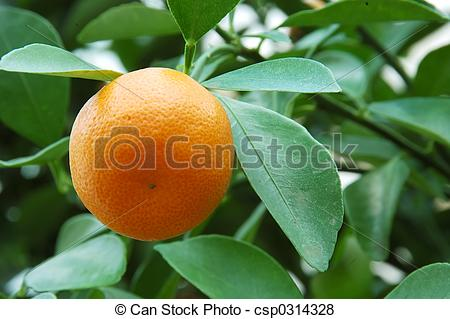 Pictures of Calamondin Citrus Oranges, native to China, (X.