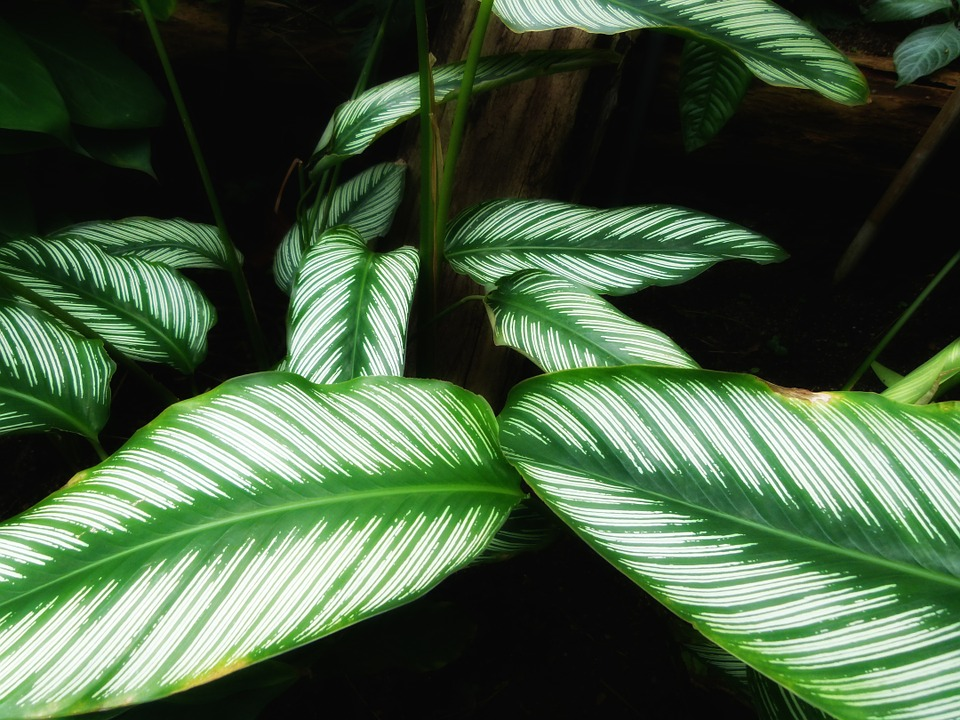 Free photo Calathea Ornata Beautiful Plants Leaves Green.