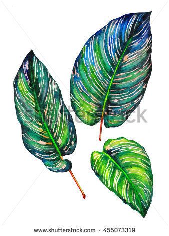 Calathea Stock Photos, Royalty.
