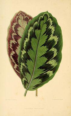 Calathea veitchiana.