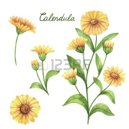 736 Calendula Cliparts, Stock Vector And Royalty Free Calendula.