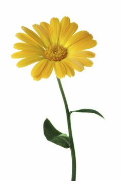 Gallery For > Calendula Clipart.