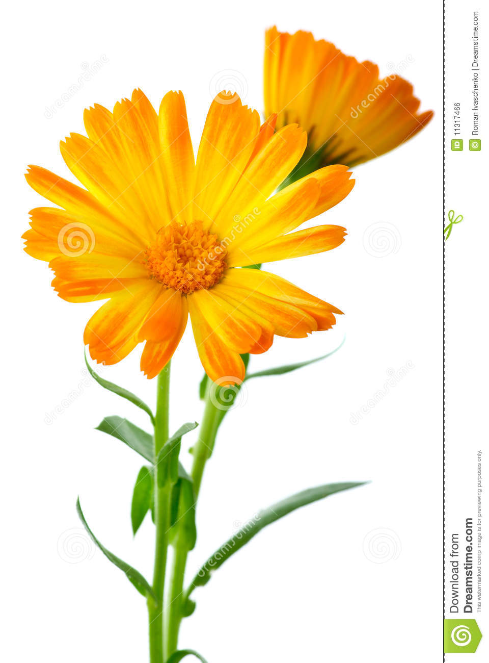 Calendula Clipart 20 Free Cliparts Download Images On Clipground 2019