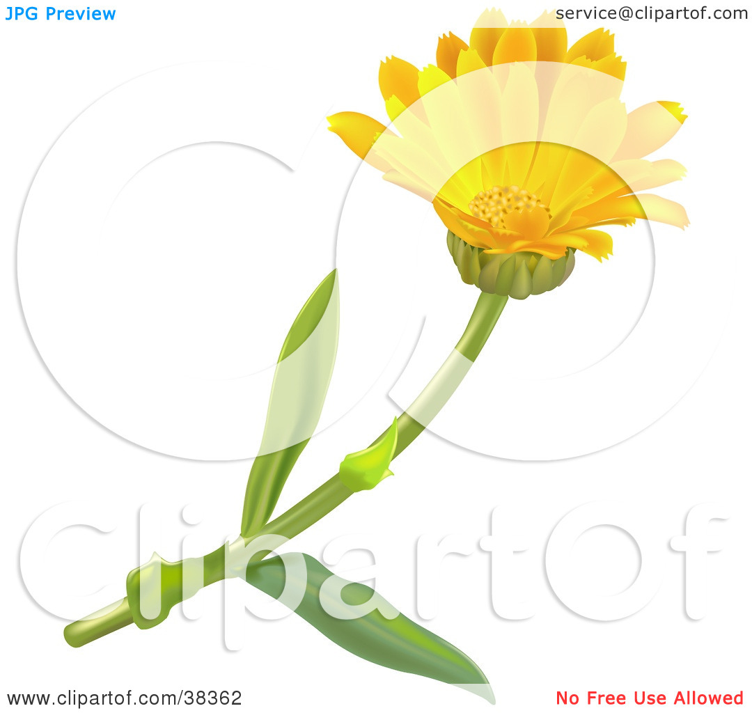 Clipart Illustration of a Yellow Pot Marigold Or Scotch Marigold.