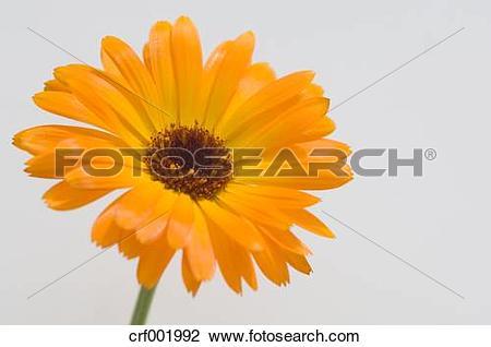 Stock Photo of Marigold (Calendula officinalis), close up.