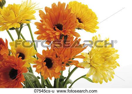 Stock Images of Marigold flowers, (Calendula Officinalis), close.