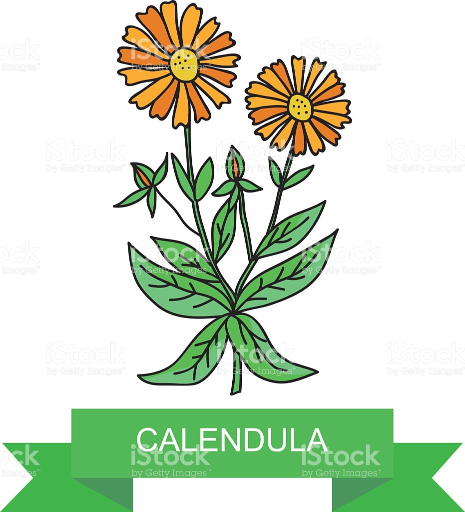 Medicinal Plant Calendula Officinalis stock vector art 521040700.