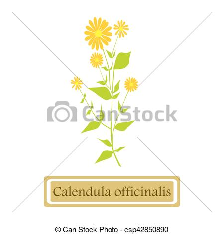EPS Vectors of Medicinal plant Calendula officinalis.