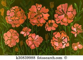 Calendula officinalis Illustrations and Clip Art. 18 calendula.