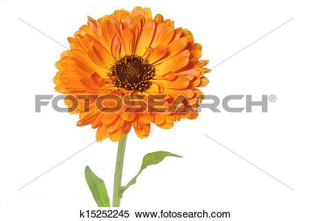 Stock Image of Orange pot marigold (Calendula officinalis) flower.