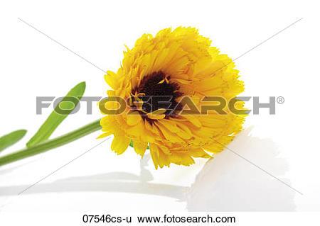 Stock Images of Marigold flower, (Calendula Officinalis), close.