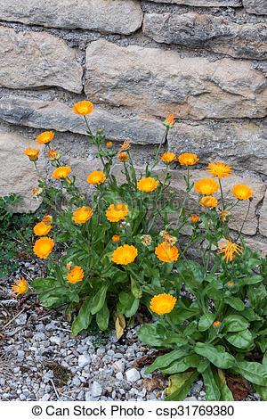 Pictures of English pot Marigold (Calendula officinalis) growing.