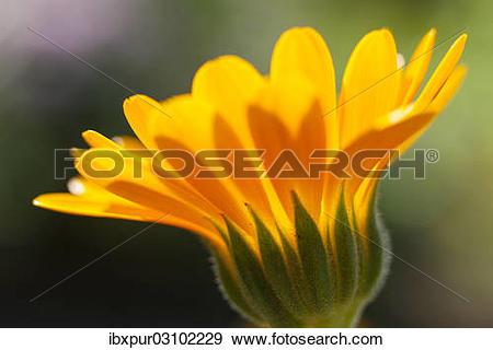 """Stock Photograph of """"Pot Marigold (Calendula officinalis), yellow."""