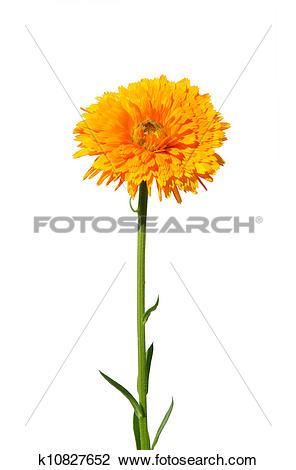 Stock Photo of Pot marigold (Calendula officinalis) k10827652.