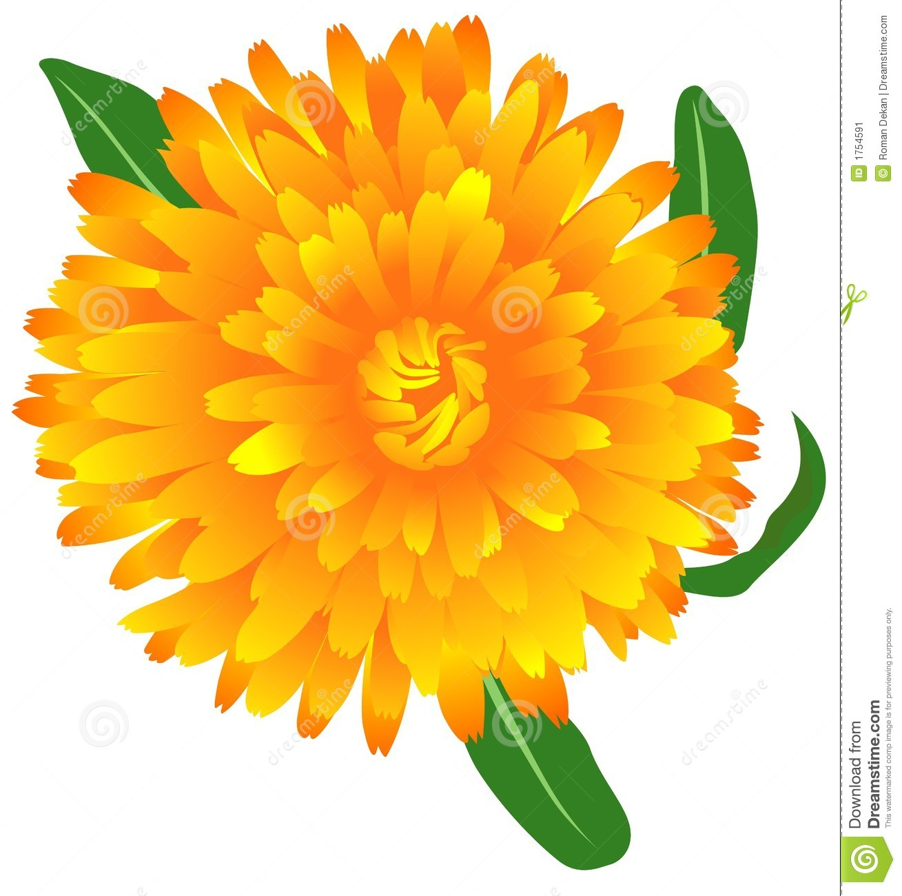 Calendula Stock Illustrations.
