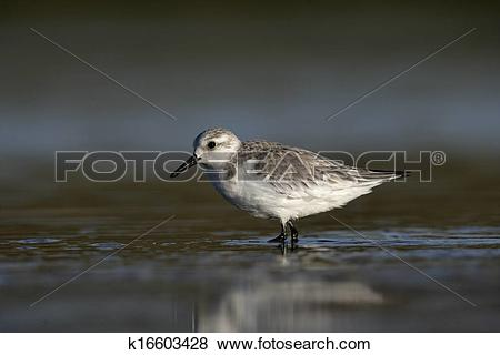 Pictures of Sanderling, Calidris alba k16603428.