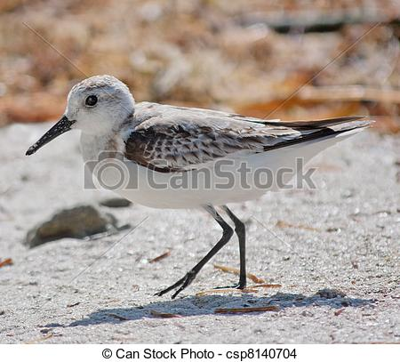 Stock Photo of Sanderling.