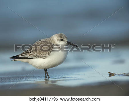 Stock Image of Sanderling (Calidris alba), Texel, North Holland.