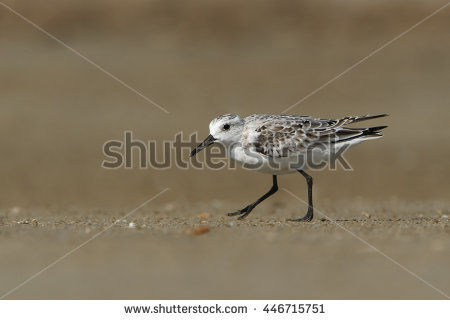 Shorebird Stock Photos, Royalty.