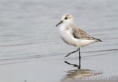 Sanderling Sandpiper (Calidris Alba Stock Images.