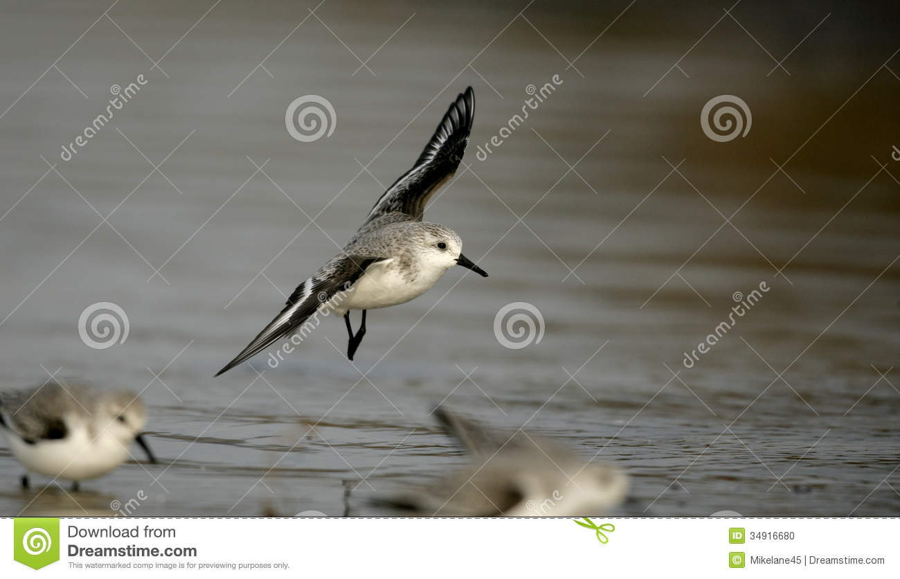Sanderling, Calidris Alba Stock Photo.