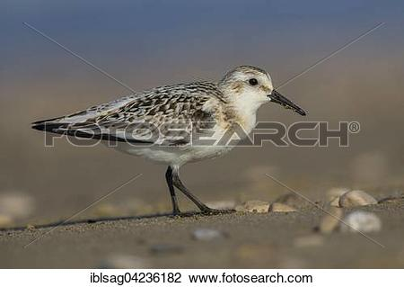 Stock Photo of Sanderling (Calidris alba), juvenile on a beach.