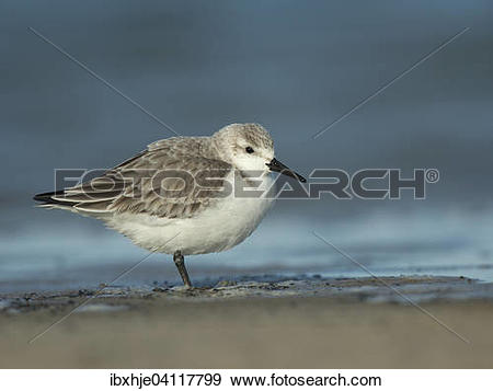 Stock Photograph of Sanderling (Calidris alba), Texel, North.