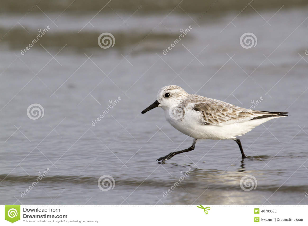 Sanderling (Calidris Alba) In Winter Plumage Foraging On The Ocean.