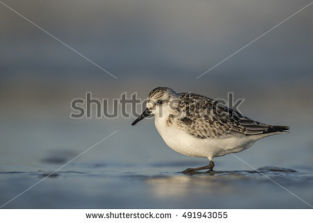 Calidris Alba Stock Photos, Royalty.