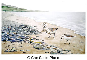Calidris Clipart and Stock Illustrations. 33 Calidris vector EPS.