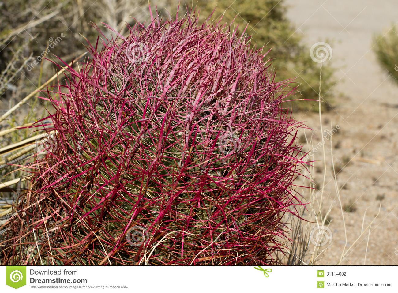 California Barrel Cactus, Ferocactus Cylindraceus Stock.