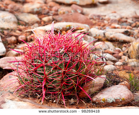 California Barrel Cactus Stock Photos, Royalty.