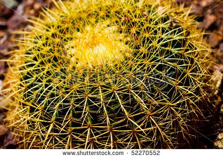 Golden Barrel Cactus Golden Ball Or Stock Photo 53180683.