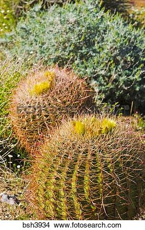 Stock Photo of Barrel cactus blooming in Plum Canyon, Anza.