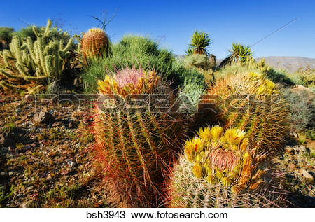 Stock Photo of Barrel cactus and cholla in Plum Canyon, Anza.