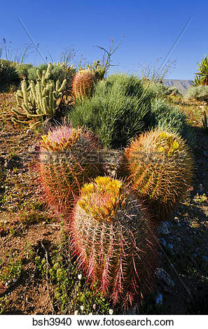 Stock Photography of Barrel cactus and cholla in Plum Canyon, Anza.