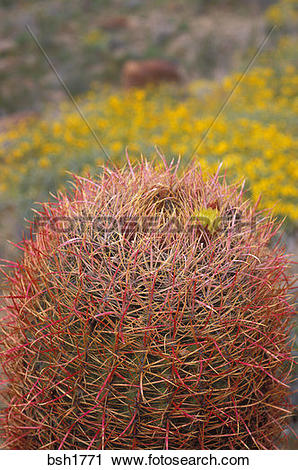 Stock Photography of Barrel Cactus (Ferocactus cylindraceus) in.