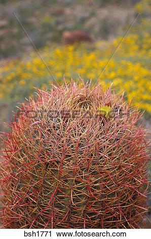 Stock Photography of Barrel Cactus (Ferocactus cylindraceus) in.
