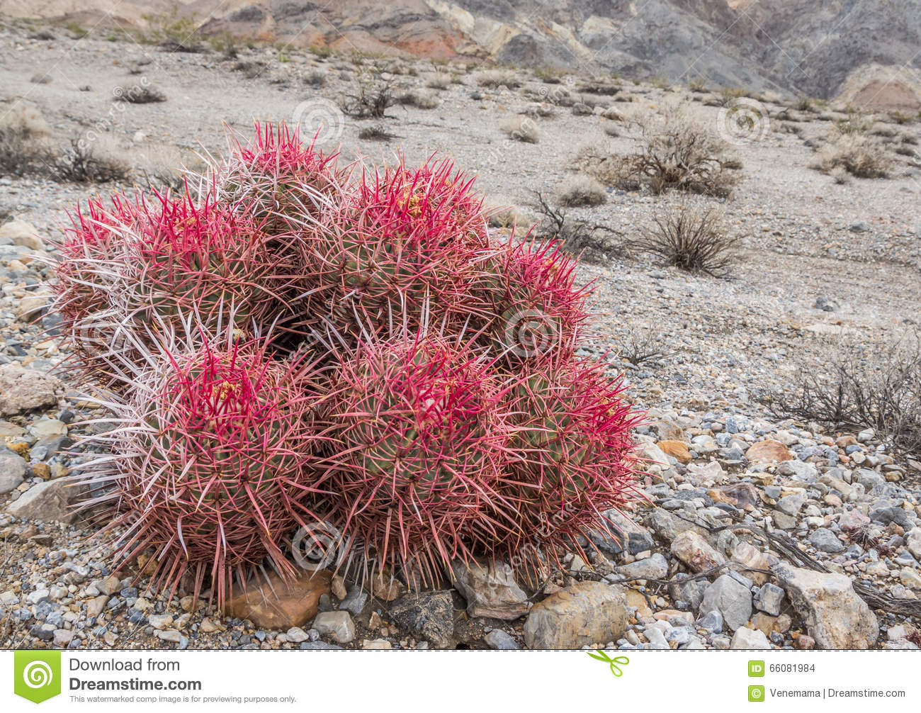 Barrel Cactus In Death Valley National Park Stock Photo.