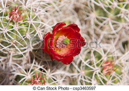 Picture of California Barrel Cactus in bloom.