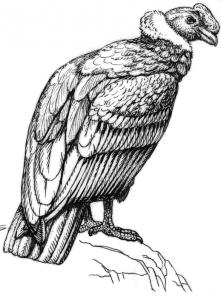 Condor Clip Art Download.
