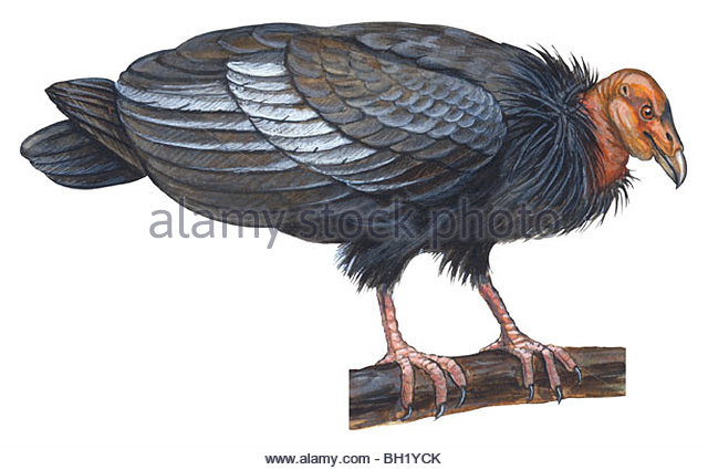 California Condor Cut Out Stock Images & Pictures.