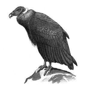 Condor, Scavenger Bird.