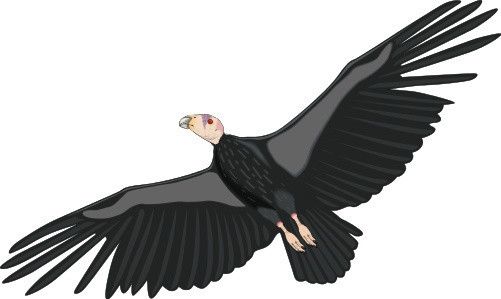 Condor clipart.