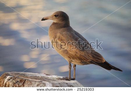 Immature California Gull, Larus Californicus Lawrence Stock Photo.