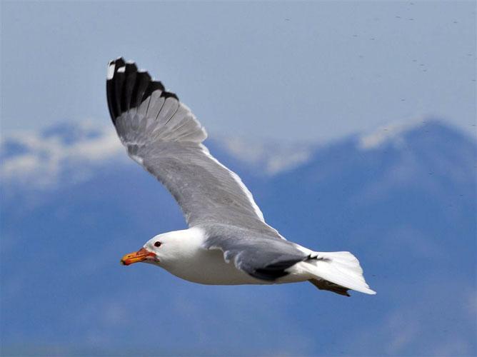 California Gull Photos.